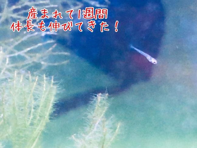 ハナビ稚魚