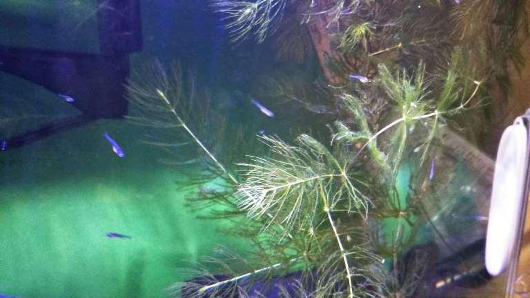 生後18日目のハナビ稚魚達