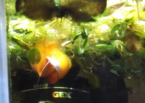 グラミー 繁殖