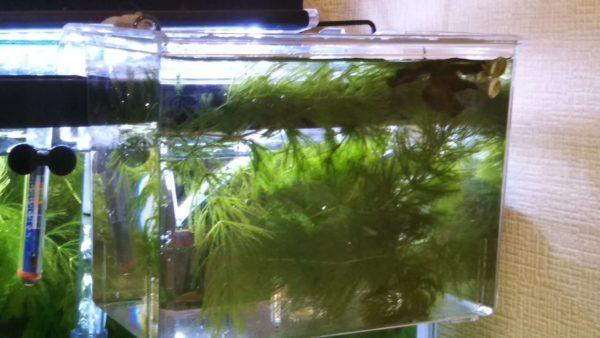 稚魚水槽 サテライト