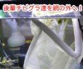 稚魚グラミーの本水槽デビュー!仲良くやっていけるのか?